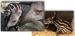 geboorte giraffe artis