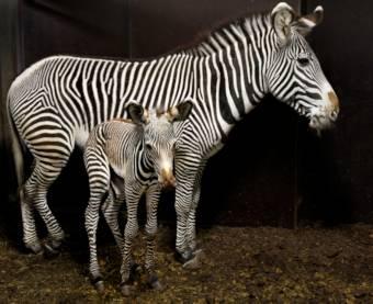 Dierentuin Nieuws Januari 2015 Gr 233 Vy Zebra Geboren In